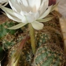 Pygmaecereus bylesianus PH 769.05