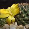 Sulcorebutia steinbachii 'gracilior' HS 209 (Colomi, Chaparホ, 3900m, Cochabamba, Bolivia)
