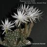 Pygmaecereus bieblii (Rio Santa Valley, Ancash, Peru)