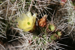 Opuntia sulphurea MN 394 (Tupiza, 3000m, Bol)