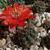 Rebutia atrovirens v. haefneriana MN 476 (Padcoyo-Pulquina, 4001m, Bolivia)