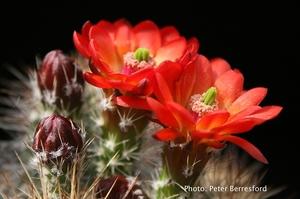 Echinocereus pacificus (San Carlos Canyon, BCN)