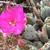 Opuntia basilaris v. brachyclada (St. Gabriel Mts, CA)