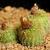 Frailea pygmaea 'bruneo-mollispina' PR 576 (Pantano, Cerro de Pache, Rio Grande do Sul, Brazil)