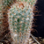 Frailea gracillima 'albifusca' KPR 21