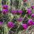 Echinocereus enneacanthus MN 690a (Brewster Co, TX)