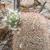 Echinocereus dasyacanthus MN 703 (Orogrande, NM)