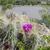 Echinocereus stramineus MN 690 (Brewster Co, TX)