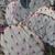 Opuntia azurea MN 674 (Brewster Co, TX)