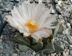 Ariocarpus retusus ssp. scapharostroides (Santa Rita, SLP, Mex)