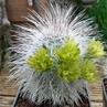 Echinocereus viridiflorus ssp. canus  (Solitario, TX, USA)