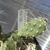 [PLANT/PFLANZE] Opuntia columbiana MH 388 (Ashcroft,  BC, Canada)