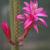 [PLANT/PFLANZE] Aporocactus flagelliformis ISI 90-1