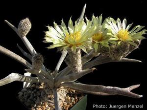 Astrophytum caput-medusae (Los Hererras, NL, Mex)