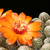 [PLANT/PFLANZE] Rebutia einsteinii v. WR 751 (Purmamarca, Arg)