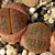 [PLANT/PFLANZE] Lithops hookeri v. subfenestrata brunneoviolacea C 19