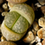 [PLANT/PFLANZE] Lithops marmorata framesii SB 1377