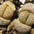 [PLANT/PFLANZE] Lithops marmorata v. elisae C 252