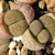 [PLANT/PFLANZE] Lithops terricolor Prince Albert C 134