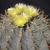 Ferocactus glaucescens (Maconi, Que)
