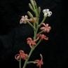 Manfreda longflora (Tula-Tampico, Tamaluipas, Mex)