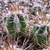 [PLANT/PFLANZE] Echinopsis leucantha BOS 341