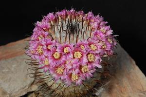 Mammillaria perezdelarosae (El Ocote, Aguascalientes)