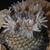 Mammillaria perezdelarosae v. andersonii (Villa Garcia, Zac)