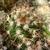 [PLANT/PFLANZE] Parodia tuberculata MN 637