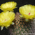 Acanthocalycium thionanthum v. brevispinum FK 669 (5 km S Cafayate, Arg)