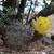 Acanthocalycium thionanthum  TB 366.1 (San Carlos, 1627m, Salta, Argentina)