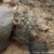 Acanthocalycium thionanthum 'catamarcense griseum'TB 355.1 (Punta de Balasto, 2210m, Catamarca, Argentina)