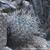 Acanthocalycium thionanthum 'catamarcense' TB 357.1 (Santa Maria, 1969m, Catamarca, Argentina)