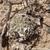 Acanthocalycium thionanthum v. glaucum TB 353.2 (Hualfin, Catamarca, 1850m, Argentina)