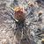 Tephrocactus geometricus 'willy-smithii' JN 1822 (Termas La Aguadita, 1385m, Catamarca, Arg
