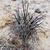 Tephrocactus alexanderii fma JN 1829 (Palo Blanco, 1808m, Catamarca, Arg