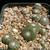 Blossfeldia liliputana 'minima' KK 1066 (Rio Grande, 2000m, Bol)