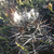 Austrocactus longicarpus JN 1768 (Estancia Laguna Seca, 1046m, Neuquen, Arg