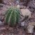 Echinopsis albispinosa «silvestrii« TB 415.2 (Las Curtiembes, 1287m, Salta, Argentina)