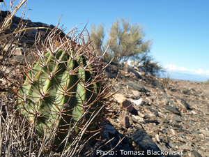 Echinopsis leucantha  TB 323.1 (Carpinteria, 603m, San Juan, Argentina)