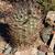 Echinopsis leucantha  TB 343.2 (Fiambala, Catamarca, 2002m, Argentina)