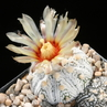Astrophytum asterias 'superkabuto'