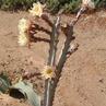 Peniocereus cuixmalensis  Lau 767 (Cuixmala, Jalisco, Mexico)