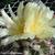 Copiapoa cinerascens v. grandiflora FK 796 (Esmeralda, Chile)