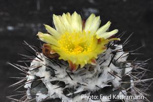 Copiapoa hypogaea 'mollicula' FK 444 (Q. Leone, Chile)