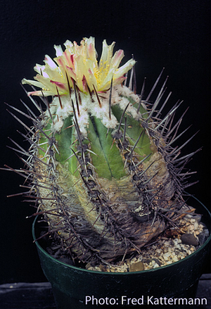 Copiapoa marginata v. bridgesii FK 131 (Chanaral)
