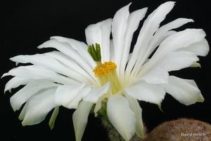 Echinocereus rigidissimus v. rubrispinus Lau 088 'cv. KW Beisel'