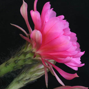 Echinopsis obrepanda  WR 653 (Iscayachi, Bol)