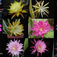 Epiphyllum HYBRID 'Winbergs selection'