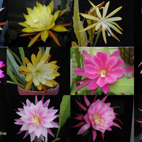 Epiphyllum HYBRID Winbergs selection
